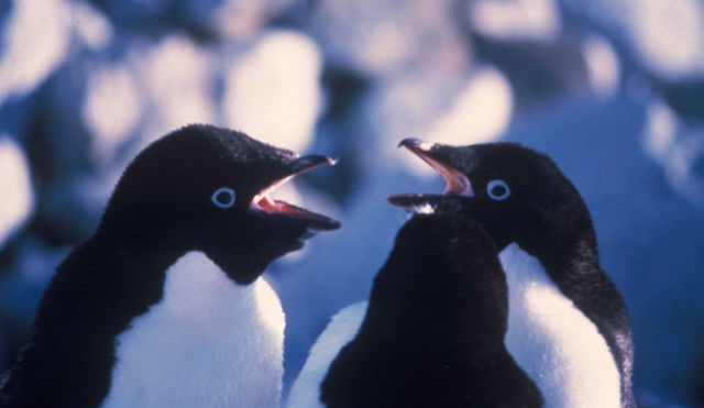 Adelie penguins calling. Picture