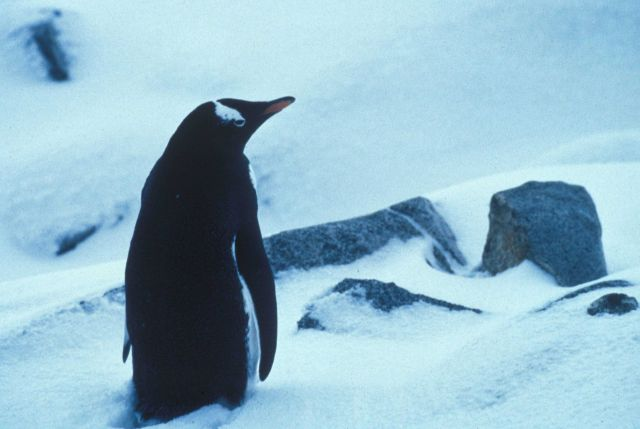 A gentoo penguin in the snow, Seal Island. Picture