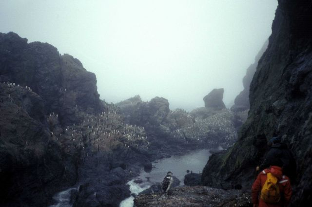 Hiking through a coastal chinstrap penguin colony, Seal Island. Picture