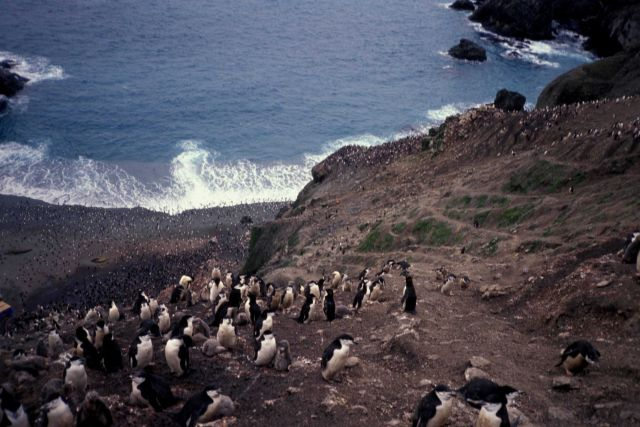 Chinstrap penguins cling to steep seaside cliffs at Seal Island. Picture
