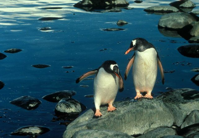 Gentoo penguins on the rocky shores of Seal Island. Picture