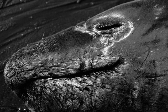 A close up of a resting leopard seal. Picture