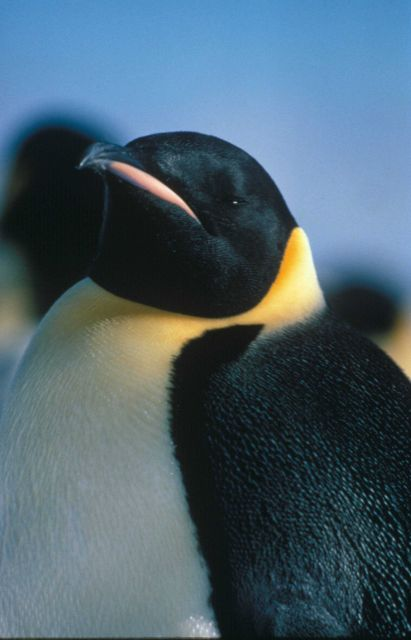 An emperor penguin, the largest species of penguin. Picture
