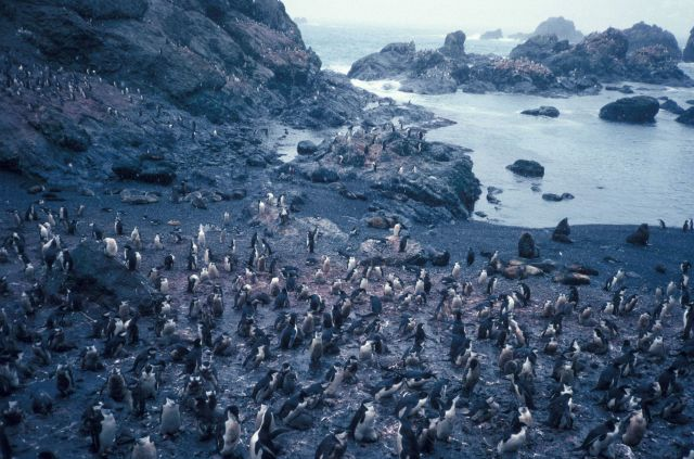 A chinstrap penguin colony on the rocky coast of Seal Island. Picture