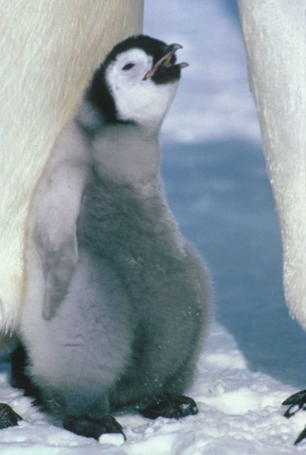 An emperor penguin chick with two adults. Picture