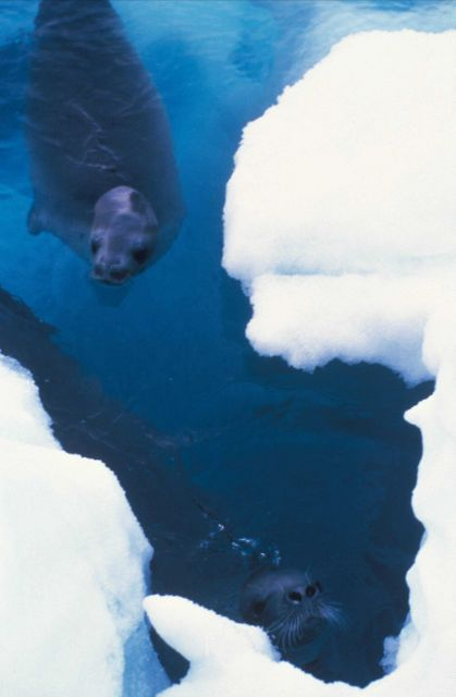 Crabeater seals swim near an ice floe. Picture
