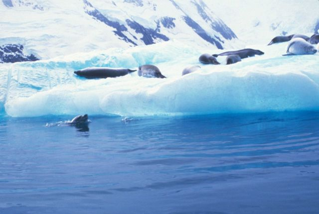 Crabeater seals rest on an iceberg. Picture