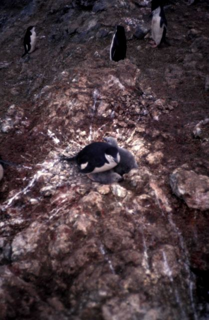 Chinstrap penguin on a nest, with chicks. Picture