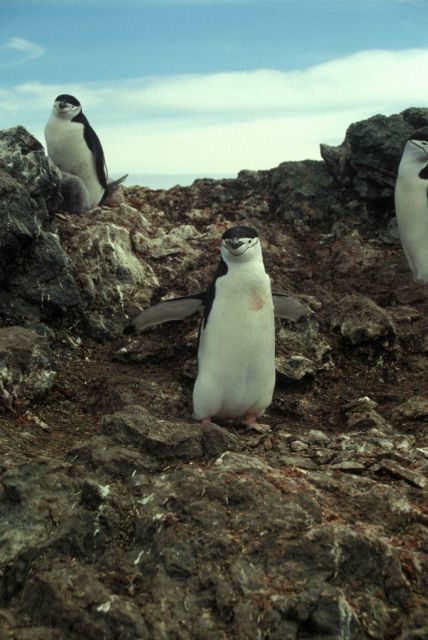 Chinstrap penguins, Seal Island. Picture