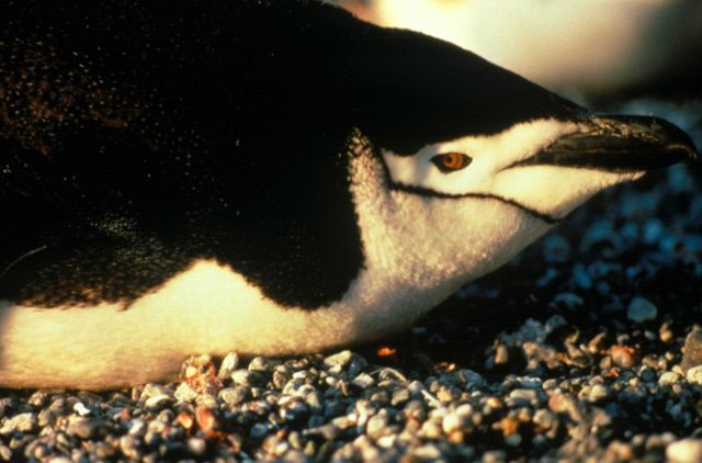 Closeup of a chinstrap penguin. Picture
