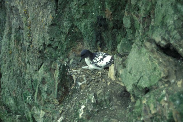 A cape petrel sits on its nest on a cliff face on Seal Island. Picture