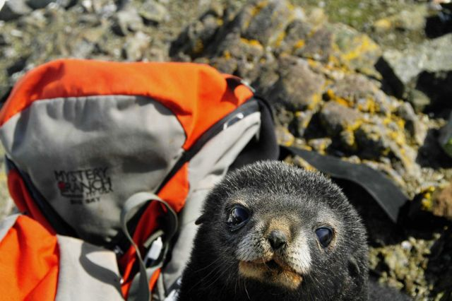 Closeup of an Antarctic fur seal pup with a backpack. Picture