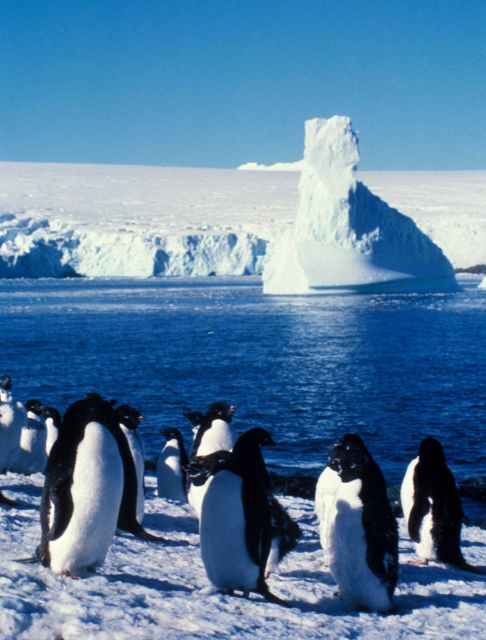 Adelie penguins, South Shetland Islands. Picture