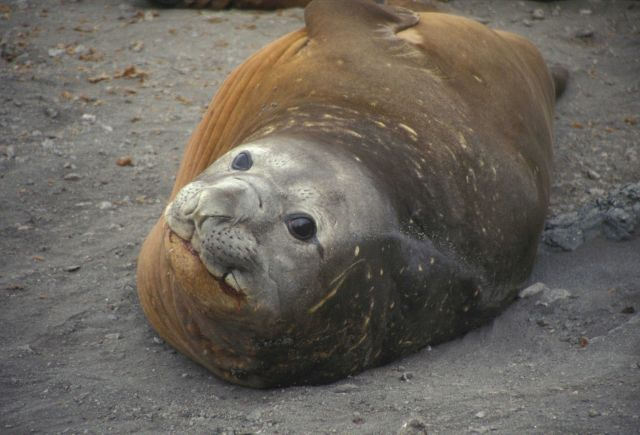 Southern elephant seal resting on a beach at Seal Island, South Shetland Islands . Picture