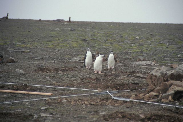 Chinstrap penguins at the Cape Shireff field camp construction site, Livingston Island. Picture