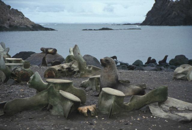 Antarctic fur seals with whalebones at Cape Shirreff, Livingston Island. Picture