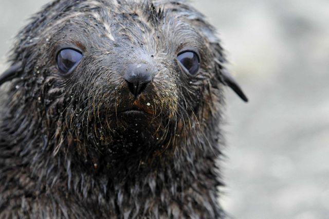 An Antarctic fur seal pup after a swim. Picture