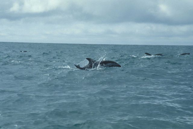 Porpoising dusky dolphins, Southern Ocean. Picture