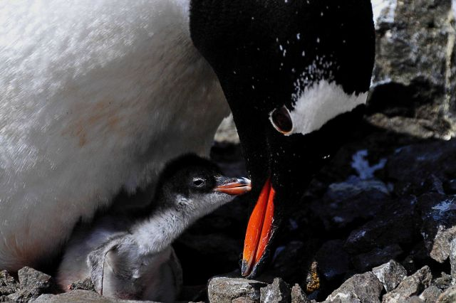 A gentoo penguin and chick. Picture