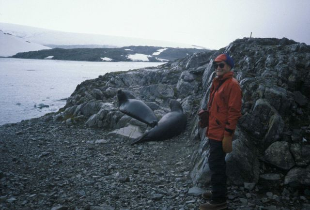 An AMLR biologist with two southern elephant seals. Picture