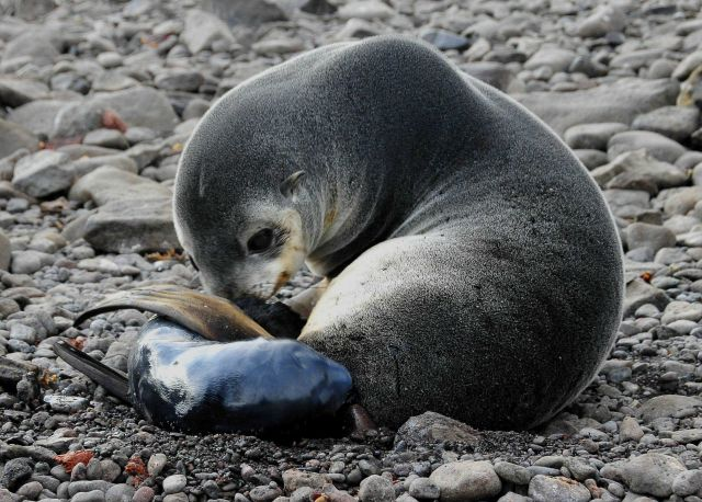 An Antarctic fur seal mother with a pup, only minutes old. Picture