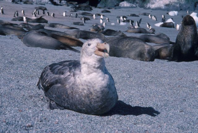 Southern giant petrel with Antarctic fur seals, South Shetland Islands Picture
