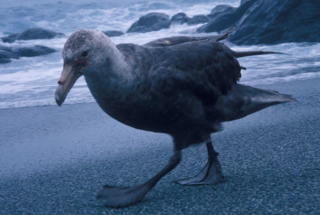 A southern giant petrel walks along the coast on Seal Island. Picture