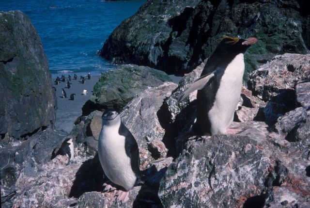 Chinstrap and macaroni penguins, Seal Island, Antarctica. Picture