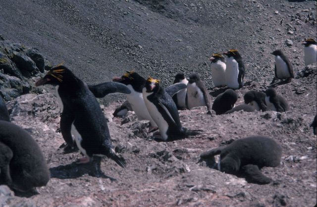 Macaroni penguins, South Shetland Islands. Picture