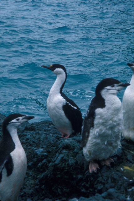 Antarctic shag with molting chinstrap penguins, South Shetland Islands. Picture