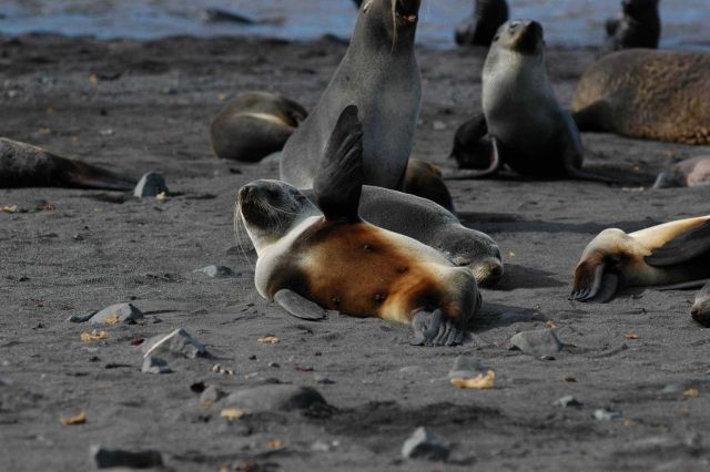 Antarctic fur seals, Livingston Island. Picture