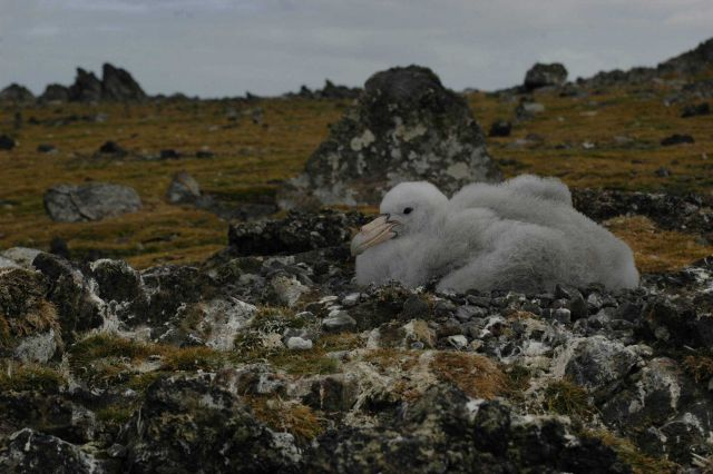 A southern giant petrel chick rests on its nest amidst rocks and mosses. Picture
