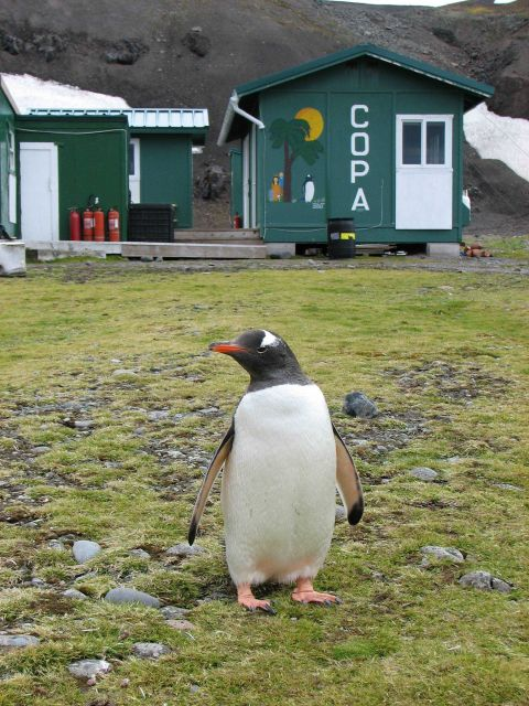 A gentoo penguin stands in front of the Copacabana field station, King George Island. Picture