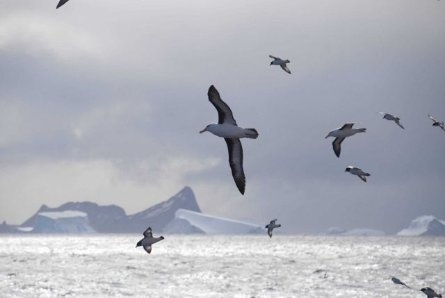 Two black-browed albatross fly with a flock of cape petrels across a classic, Picture
