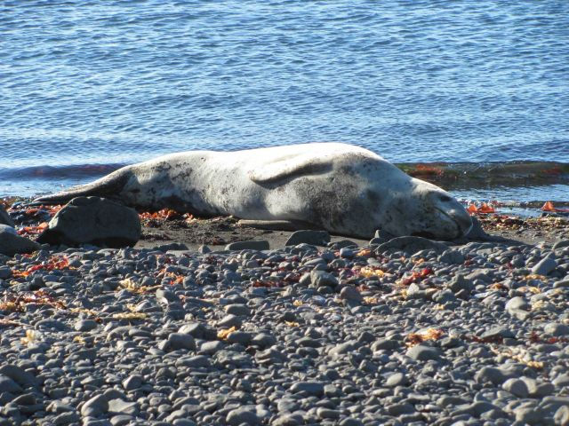 A leopard seal basks in the sun at Livingston Island. Picture