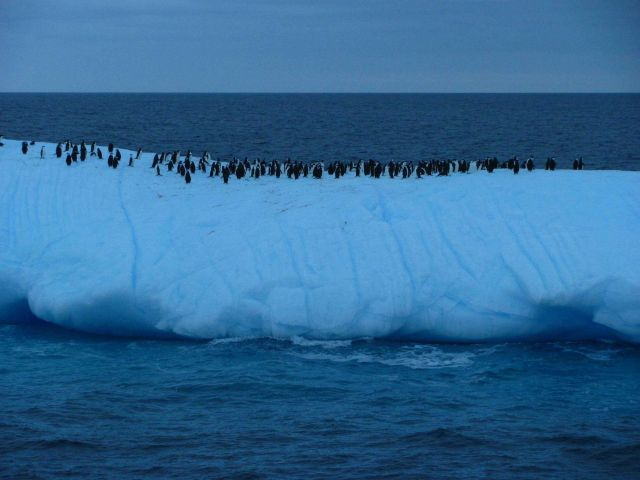 A group of chinstrap penguins floats on an iceberg. Picture