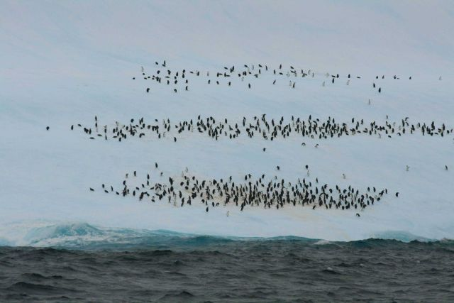 A chinstrap penguin aggregation on an iceberg. Picture