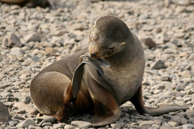 A female Antarctic fur seal grooms her flipper. Picture