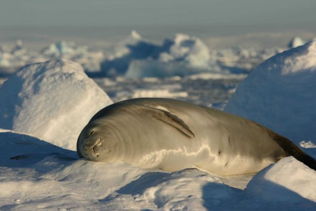 A crabeater seal catching a
