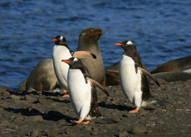 Gentoo penguins and fur seals at Livingston Island. Picture