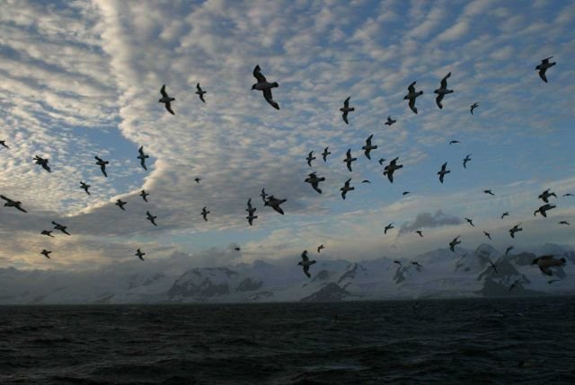 A flock of cape petrels fly by a rugged Antarctic Island at sunset. Picture
