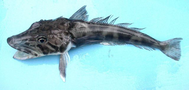Chionodraco rastrospinosus, an Antarctic icefish. Picture