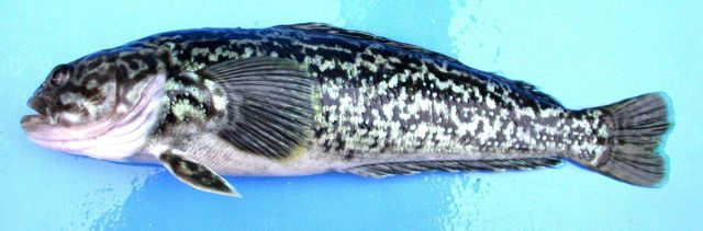 Notothenia rossii, marbled rockcod. Picture