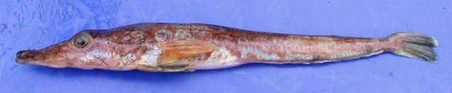 Parachaenichthys charcoti,
