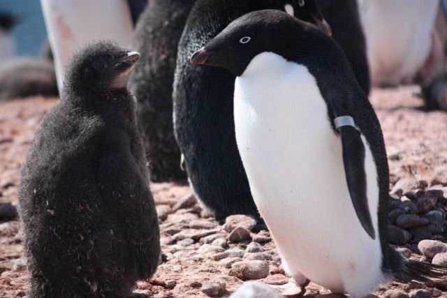 An adult Adelie penguin, with a flipper tag, stands next to an Adelie chick. Picture