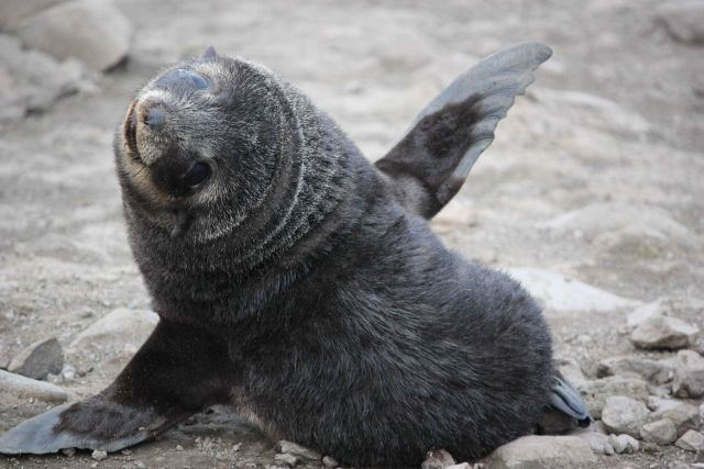 Playful Antarctic fur seal pup. Picture