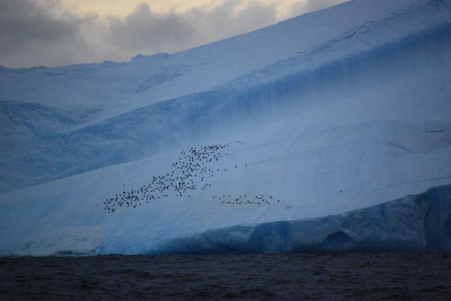 Penguins cling to the side of an iceberg. Picture