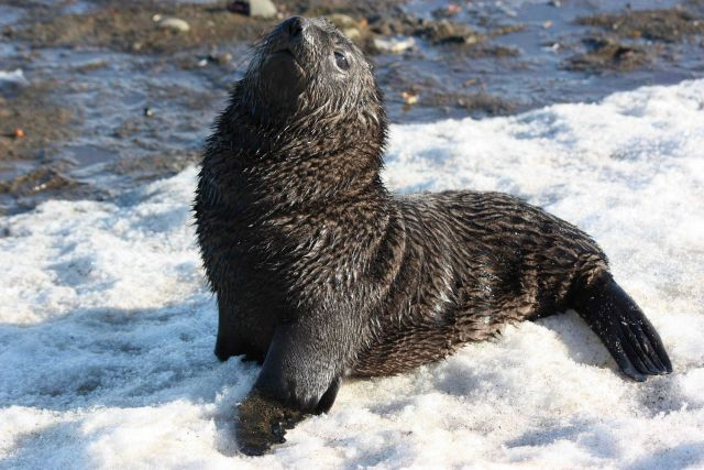 Antarctic fur seal pup in the snow. Picture