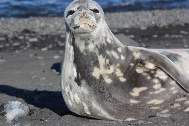 A resting Weddell seal. Picture