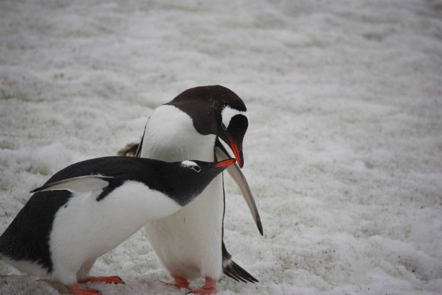 A pair of adult gentoo penguins. Picture